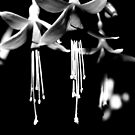 Fushia - Black and White Photography by PB-SecretGarden