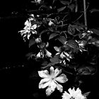 Artic Gueen Clematis in Black and White by PB-SecretGarden