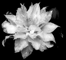 Artic Queen - Clematis 01 - Black and White Phtography by PB-SecretGarden