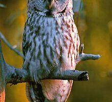 GREAT GRAY OWL by Chuck Wickham