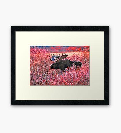 BULL MOOSE,YELLOWSTONE NP Framed Print