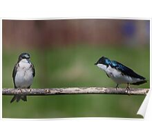 Tree Swallows #1  Poster
