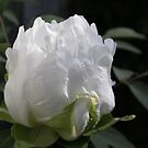 White Peony 01 - Floral Photography by PB-SecretGarden