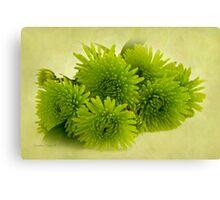 Green Spider Chrysanthemums Canvas Print
