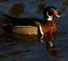 Wood Duck #1  by Kane Slater