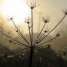 """"""" Sparkling Seeds At Dawn """" by Richard Couchman"""