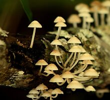 Fairy Mushrooms in the Rainforest by myraj