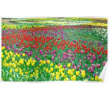 A Rainbow of Tulips Poster