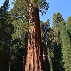 Giant Sequoia, Southern California, USA. Nature photograpgy. by naturematters