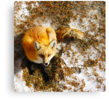 The Majestic Red Fox Canvas Print