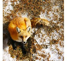 The Majestic Red Fox Photographic Print