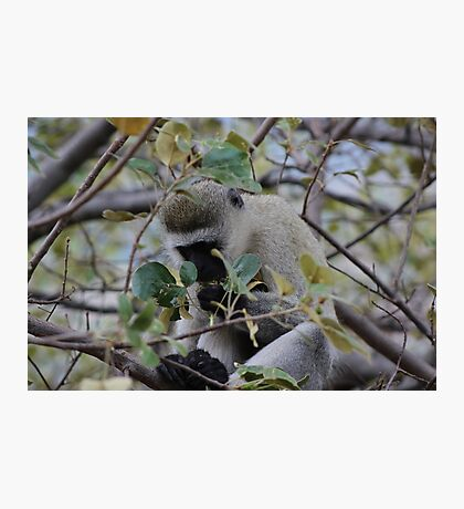 Old Monkey Photographic Print