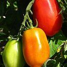 Traffic Light Tomatoes by wiggyofipswich