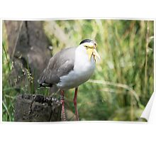Masked Lapwing (Vanellus miles) hiding in the bush Poster