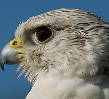 Close-up of gyrfalcon head with blue sky by Nick Dale