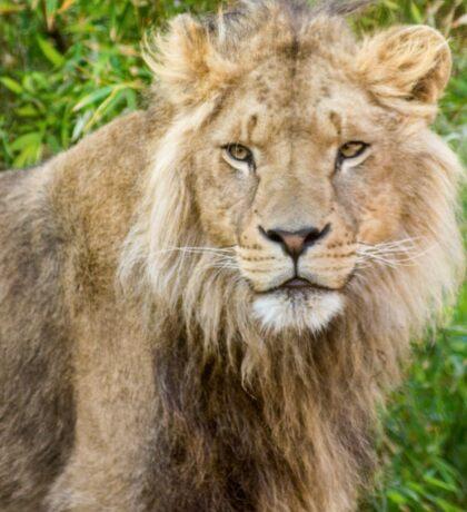 530 lion king Sticker