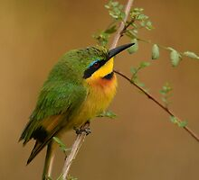 Little bee eater  by barnymartin