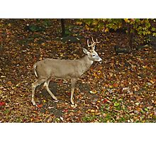 Whitetail Deer - Buck - Odocoileus virginianus - Autumn Photographic Print