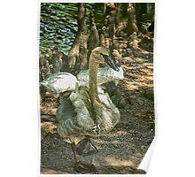 Swan Strut Poster