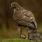 Northern Goshawk - II (Accipiter gentilis) by Peter Wiggerman