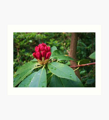 Rhododendron In Bud Art Print