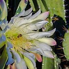 Night Blooming Cereus Cactus by George I. Davidson