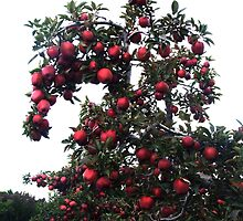beautiful abundance of red delicious apples! 2 by Maureen Zaharie