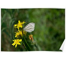 Butterfly on the dandelion Poster