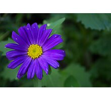 Single blue flower Photographic Print
