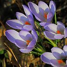 Late Day Crocuses  by goddarb