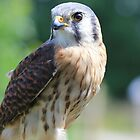 An American Kestrel by DAVE SNEYD