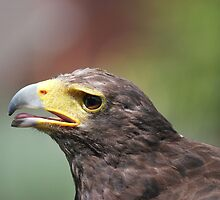 Harris Hawk by DAVE SNEYD