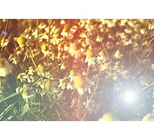 The camomiles on a vintage background. Flowers. Setting sun. Red filter Photographic Print