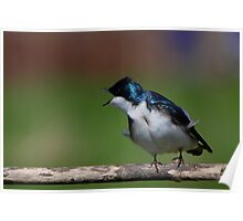 Tree Swallow #3  Poster