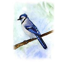 blue jay on a branch handmade aquarelle Photographic Print