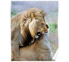 WILDLIFE WAYS - THE LION – Panthera leo Poster