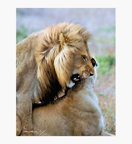 WILDLIFE WAYS - THE LION – Panthera leo Photographic Print