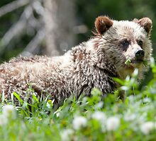 Grizzly Bear Cub  by Jim Stiles