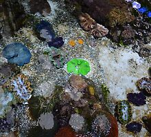 Clear, colorful tropical sea water creatures and rocks. California Institute of Science. by naturematters