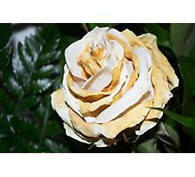 Old white rose Photographic Print