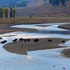 Line of Bison in the Lamar Valley, Yellowstone NP by Martin Lawrence
