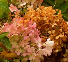 Hydrangea by WildThingPhotos