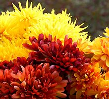 Chrysanthemums by WildThingPhotos
