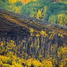 Aspens Of The West Elks by John  De Bord Photography