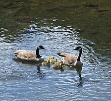 canadian geese family by Maureen Zaharie