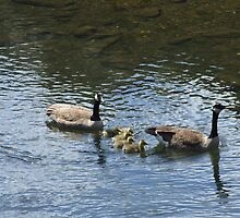 canadian geese family 2 by Maureen Zaharie