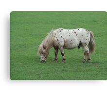 Miniature Shetland Pony Canvas Print