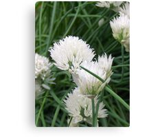 Wild White Chives Canvas Print