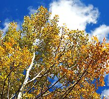 Blue Rocky Mountain Skies and Golden Aspen Trees in fall by Amy McDaniel