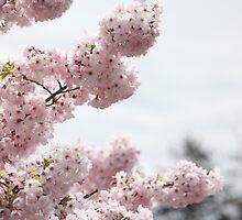 Cherry Blossom 2 by JennaSaunders
